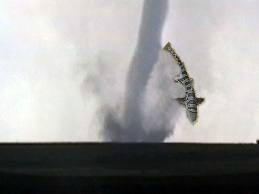tornado leopard shark