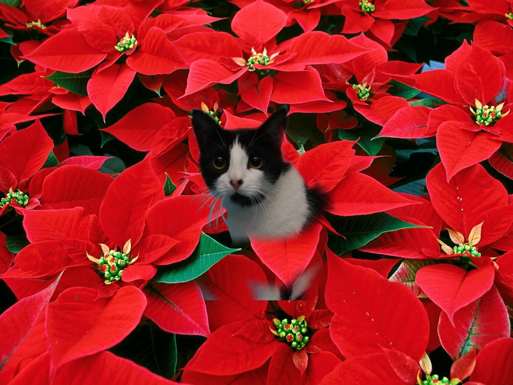 poinsettia photo2