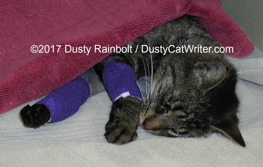 Tabby recovering from orthopedic surgery